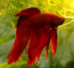 Röd kampfisk