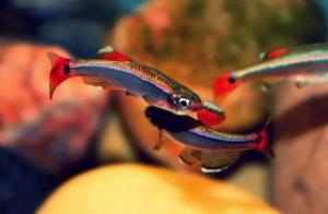 Kardinalfisk
