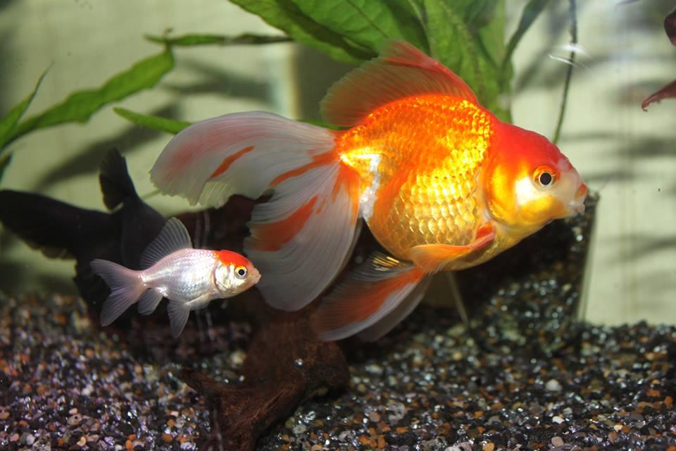Guldfisk Se En Sida Om Guldfisk Slojstjartar Och Andra Avelsformer Av Guldfisk Carassius Auratus