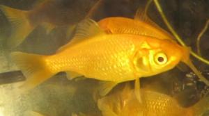 gul guldfisk