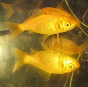 hammerscale goldfish