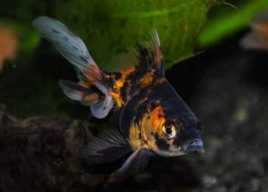 Orange calico fantail